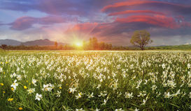 Narcissus Valley Stock Images