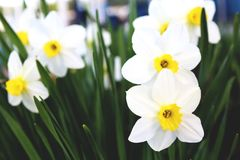 Narcissus. Is a very ancient flower, which is associated with many legends, beliefs and customs in the cultures of different peoples. In Europe  fell from Asia royalty free stock images
