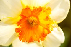 Narcissus white yellow flower macro for background Stock Image