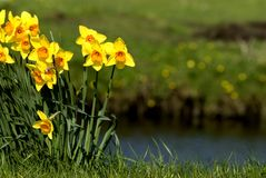 Narcissus wild. Wild narcissus near a ditch royalty free stock photo