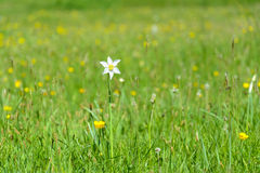Narcissus Wild Flower blanc Photo libre de droits