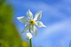 Narcissus Wild Flower blanc Photographie stock libre de droits