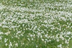 Narcissus Wild Flower Field bianco Fotografia Stock Libera da Diritti