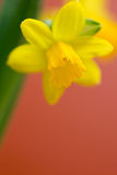 Narcissus Stock Photos