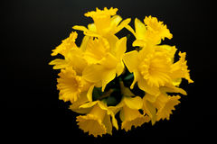Narcissus yellow daffodil jonquilla. Narcissus yellow, daffodil, jonquilla, jonquil flower stock images