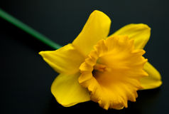 Narcissus yellow daffodil jonquilla Royalty Free Stock Image