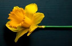 Narcissus yellow daffodil jonquilla. Narcissus yellow, daffodil, jonquilla, jonquil flower stock image