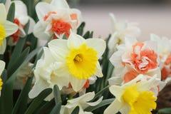 Narcissus Yellow daffodils stock photo