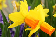 Narcissus  Yellow daffodils Royalty Free Stock Photos