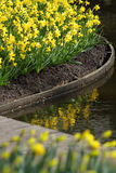 Narcissus  Yellow daffodils Stock Image