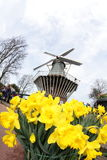 Narcissus  Yellow daffodils with windmill, Keukenhof Amsterdam Stock Photos