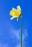 Narcissus yellow flower Stock Image