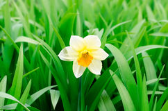 Narcissus yellow flower Royalty Free Stock Photos
