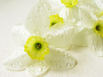 Narcissuses Stock Photos