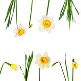 Narcissuses Stock Images