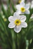 Narcissuses Fotografía de archivo libre de regalías