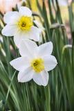 Narcissuses Fotos de archivo