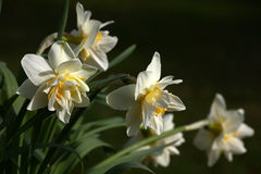 Narcissuses Stock Afbeelding
