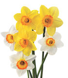 Narcissuses Images stock