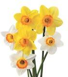 Narcissuses Imagens de Stock