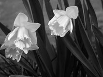 Narcissuses Foto de Stock Royalty Free