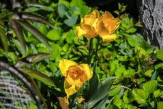 Narcissuses amarelo Fotografia de Stock