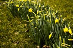 Narcissuses amarillo Imágenes de archivo libres de regalías