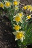 Narcissuses amarillos brillantes contra suelo seco en macizo de flores Fotos de archivo libres de regalías