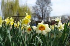 Narcissuses amarillos y blancos en el parque en primavera Foto de archivo