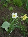 Narcissuses blancos y amarillos Fotos de archivo libres de regalías