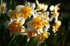 Narcissuses Contraste da manhã imagens de stock