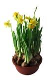 Narcissuses dans un bac Photo libre de droits