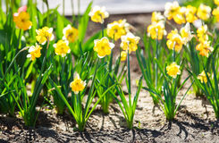 Narcissuses flowers. Yellow and white narcissuses in a garden. Daffodils Royalty Free Stock Images