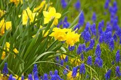 Narcissuses Kwitnie wiosna kwiaty Naturalny tło Zdjęcie Stock