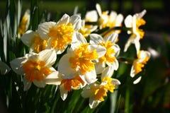 Narcissuses na manhã Imagens de Stock Royalty Free