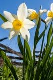 Narcissuses op achtergrond van oude omheining en blauwe hemel Royalty-vrije Stock Foto