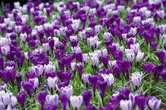 Narcissuses porpora che crescono in Keukenhof, Paesi Bassi Fotografia Stock Libera da Diritti