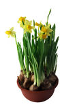 Narcissuses in a pot. The sprouts of yellow narcissuses in a pot Royalty Free Stock Photo
