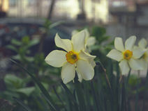 Narcissuses Stock Image