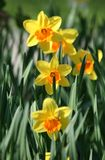 Narcissuses Stock Photography