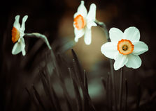 Narcisus Royalty Free Stock Image