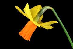 Narcisuss Flowerhead Stock Image