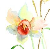 Narcyzów kwiaty Obrazy Royalty Free