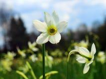 Narcyzów kwiaty Obraz Stock