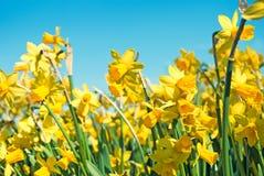 Narcyzów kwiaty Fotografia Royalty Free