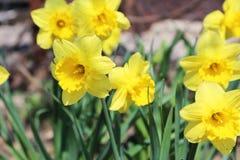 Narcyzów kwiaty Zdjęcia Stock