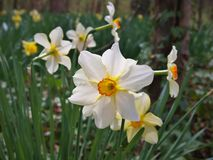 Narcyzów kwiaty, powszechnie nazwany Daffodil zdjęcie royalty free