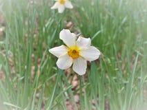 Narcyzów kwiaty, powszechnie nazwany Daffodil obrazy stock