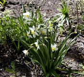 Narcyzów kwiaty zaświecający wiosny słońcem Zdjęcia Stock