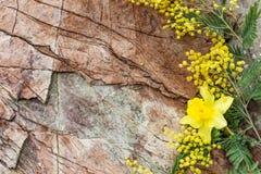 Narcyz i mimozy Dekoracyjny skład na kamiennym backgrou Fotografia Stock
